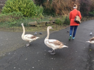 The massive swans at St. Stephen's Green