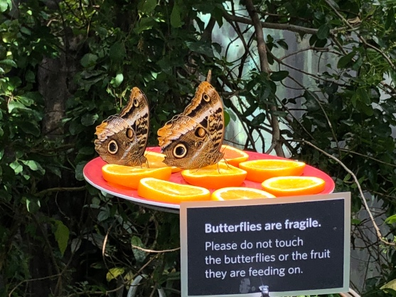 The butterflies get tasty oranges to snack on